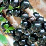 Cara Budidaya Anggur Brazil Model Terbaru