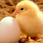 Tips Cara Budidaya Ayam Petelur