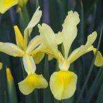 Teknik Budidaya Bunga Iris Kuning di Halaman