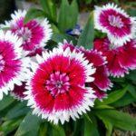 Tips Cara Budidaya Bunga Anyelir