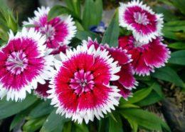 cara-budidaya-menanam-bunga-anyelir