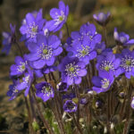 Tips Cara Budidaya Bunga Violet
