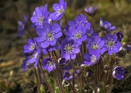 cara budidaya menanam bunga violet