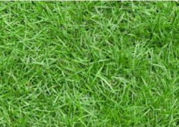 cara budidaya rumput-jepang-1