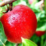 Tips Bagaimana Cara Budidaya Pohon Apel yang Baik dan Benar