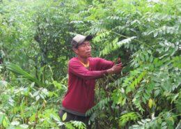cara budidaya tanaman indigofera untuk pakan ternak