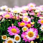Cara Budidaya Bunga Krisan Sederhana