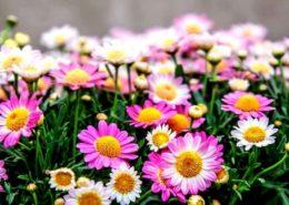 cara-memperbanyak-dan-menanam-budidaya-bunga-krisan-seruni