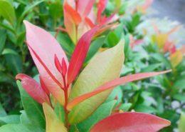 cara menanam budidaya tanaman pohon pucuk merah