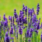 Panduan Cara Menanam & Budidaya Bunga Lavender Lengkap