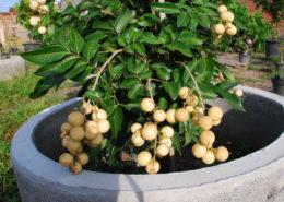cara menanam kelengkeng dalam pot