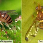 Lalat Buah dan Beberapa Teknik / Cara Menanggulanginya