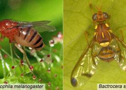 cara menanggulangi lalat buah