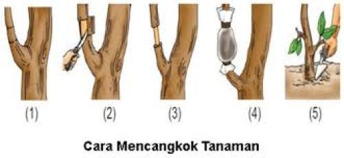 cara mencangkok pohon tanaman buah