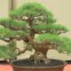 cara merawat bonsai cemara udang
