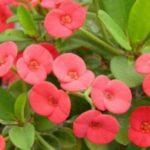 Panduan Cara Stek Bunga Euphorbia dengan Benar