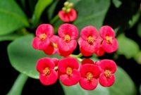 cara-stek-perbanyakan-Bunga-Euphorbia-Euphorbia-milii