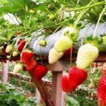 Tips Cara Menanam Buah Strawberry di Polybag di Halaman