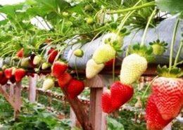 cara-tanam-Budidaya-Strawberry
