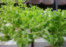 cara -teknik-budidaya-menanam-selada-daun-keriting