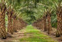 jenis jenis pupuk dan cara pemupukan kelapa sawit