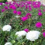 Manfaat Bunga Pukul Sembilan Pagi
