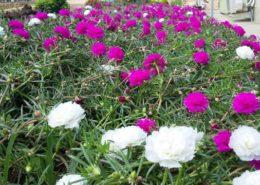 manfaat bunga pukul sembilan