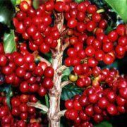 panduan bagaimana cara menanam budidaya kopi lengkap 1