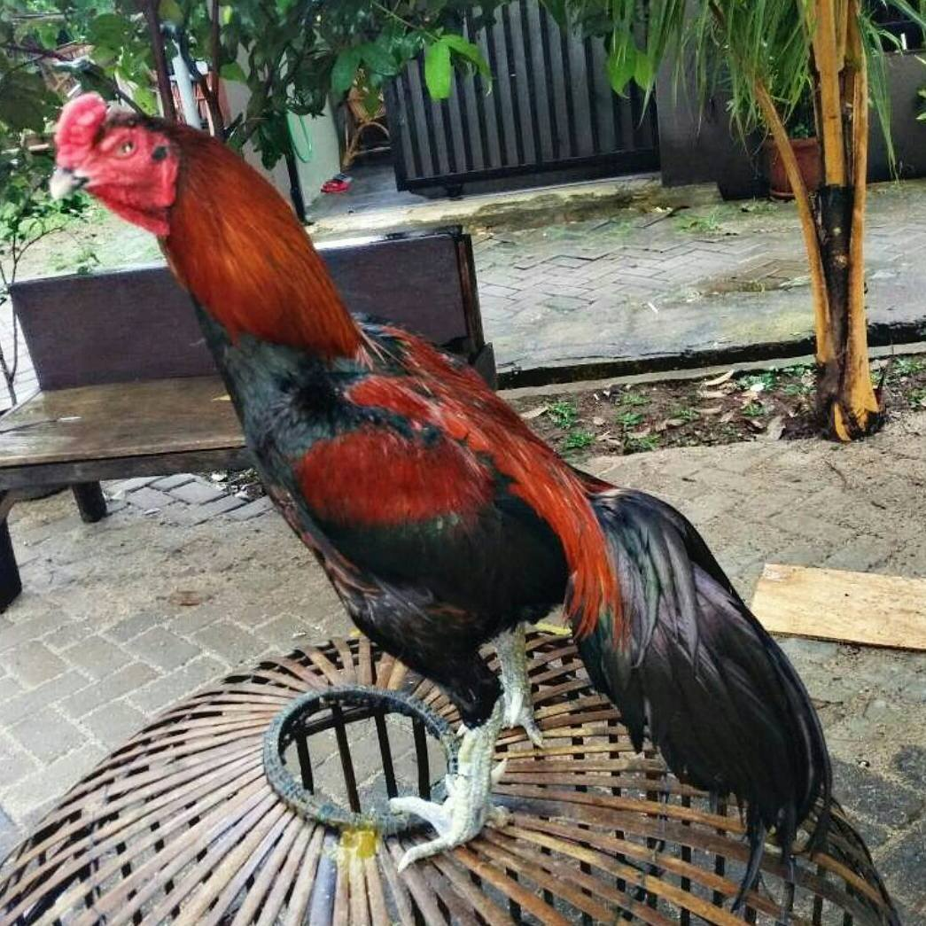 Ternak Ayam Bangkok