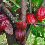 Mari, Disini Ada Tips Cara Budidaya Kakao / Coklat Lengkap Lho...