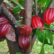 Cara budidaya menanam pohon kakao coklat