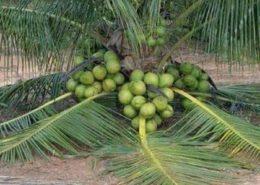 cara budidaya kelapa kopyor