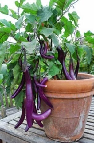cara menanam terong ungu dalam pot - polybag