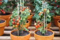 cara menanam tomat supaya hasilnya